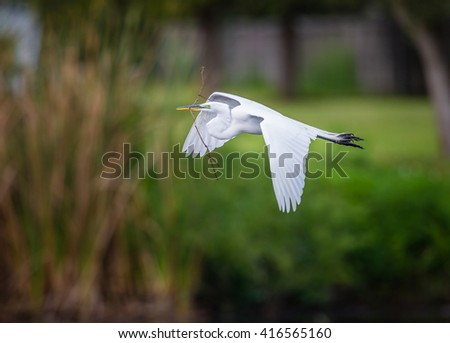 Great White Egret with nesting material in beak - stock photo
