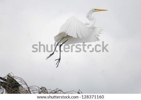 Great white egrets are common in Everglades National Park. - stock photo