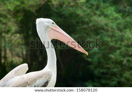 Great white pelican bird (Pelecanus onocrotalus) with green trees on background - stock photo