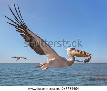 Great white Pelican catches fish thrown by tourists on the deck of the ship - Namibia, South Africa - stock photo