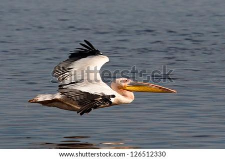 Great White Pelican in Lake Nakuru National Park - stock photo