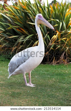 Great White Pelican is one of the largest flying birds in world - stock photo