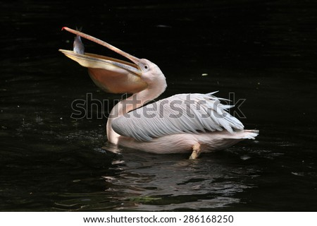 Great white pelican (Pelecanus onocrotalus), also known as the rosy pelican eating fish. Wildlife animal.  - stock photo