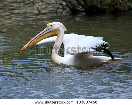 Great White Pelican swims in a surface of the water - stock photo
