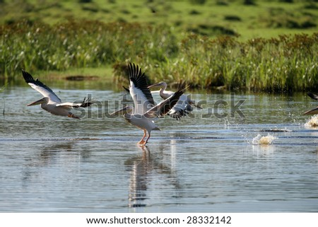Great White Pelican Taking off in Morning Light