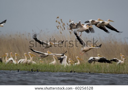 Great White Pelicans (Pelecanus onocrotalus) In The Danube Delta Wildlife Reserve