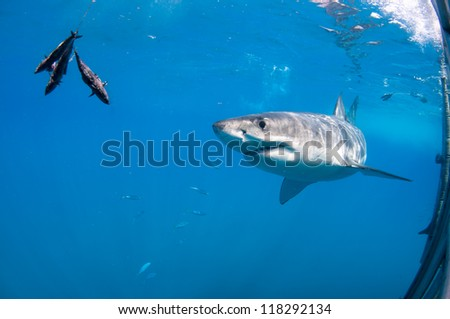 great white shark approaching the bait - stock photo
