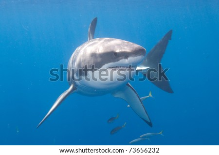 Great_White_Shark_at_Guadalupe_Island_Mexico - stock photo