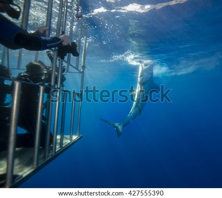 Great white shark attacking bait on the surface as divers in the cage look on, Guadalupe Island Mexico