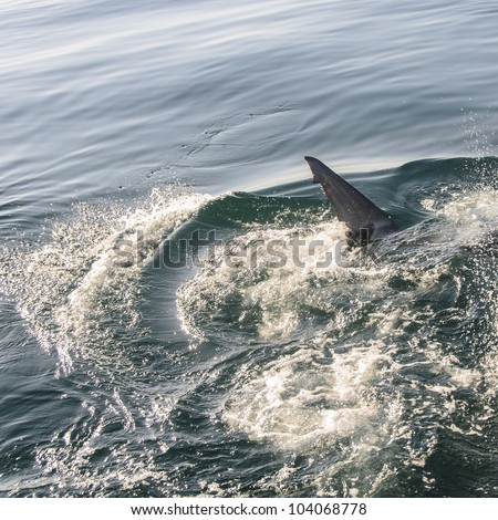 Great White Shark breaking the water surface in False Bay - stock photo