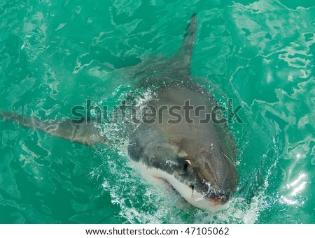 Great White Shark breaks the surface