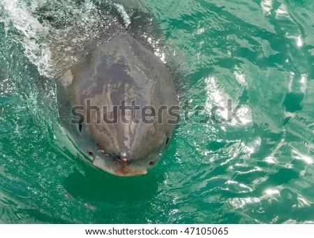 Great White Shark breaks the surface - stock photo