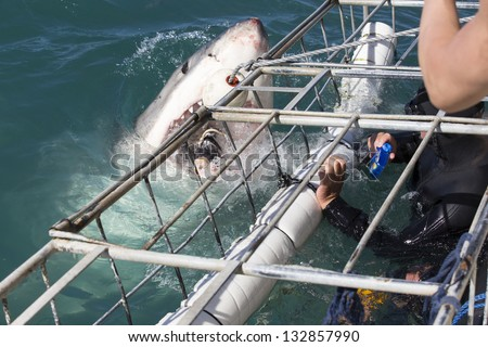 Great white shark cage diving, South Africa - stock photo