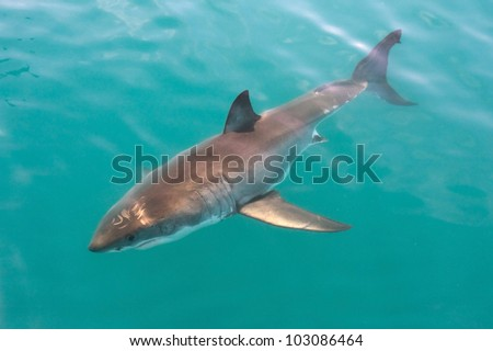 Great white shark, Carcharodon carcharias. - stock photo