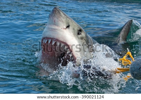 Great white shark, Carcharodon carcharias - stock photo