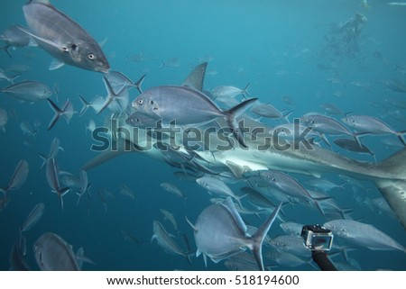 great white shark, Carcharodon carcharias, and silver trevally, Pseudocaranx georgianus, Neptune Islands, South Australia, Indian Ocean