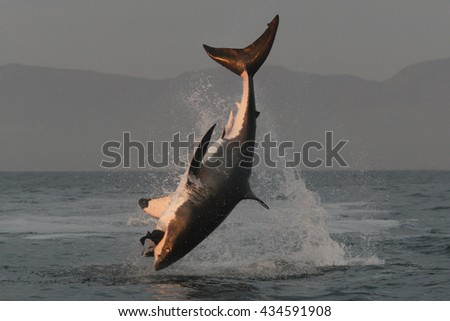 great white shark, Carcharodon carcharias, breach on seal shaped decoy, False Bay, South Africa, Atlantic Ocean - stock photo