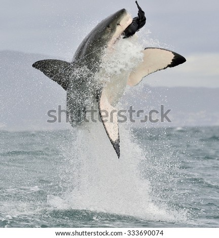 Great White Shark (Carcharodon carcharias) breaching in an attack. Hunting of a Great White Shark (Carcharodon carcharias). South Africa  - stock photo
