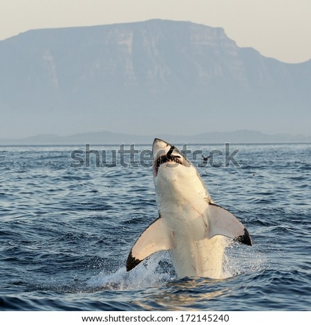 Great White Shark (Carcharodon carcharias) breaching in an attack on seal and swallowed a seal entirely, tips of flippers are visible only. South Africa  - stock photo
