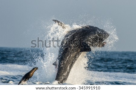 Great White Shark (Carcharodon carcharias)  breaching in an attack on seal. Hunting of a Great White Shark (Carcharodon carcharias). South Africa  - stock photo