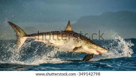 Great White Shark (Carcharodon carcharias) breaching in an attack . South Africa - stock photo