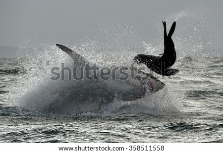 Great White Shark ( Carcharodon carcharias ) breaching in an attack . South Africa. Visible noise - stock photo