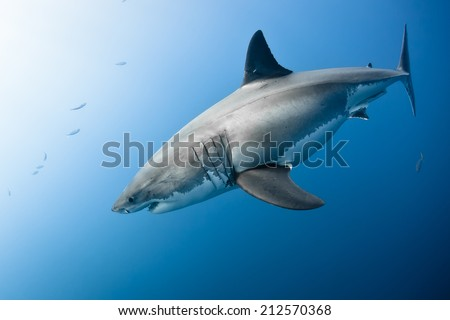 Great white shark - Carcharodon carcharias, in pacific ocean near the coast of Guadalupe Island - Mexico. - stock photo