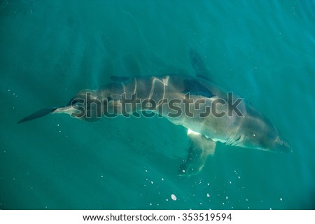 Great White shark (Carcharodon carcharias) in the water.Pacific ocean near the coast of South Africa  - stock photo