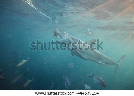 great white shark, Carcharodon carcharias, taking the bait, Neptune Islands, South Australia, Indian Ocean