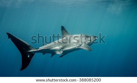 Great white shark caudal fin under sun rays in the blue Pacific Ocean  at Guadalupe Island in Mexico - stock photo