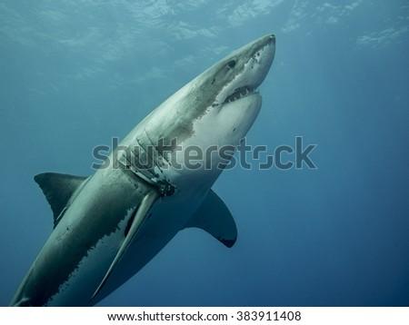 Great white shark emerging - stock photo