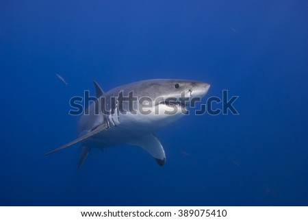 Great white shark in clear blue water. - stock photo