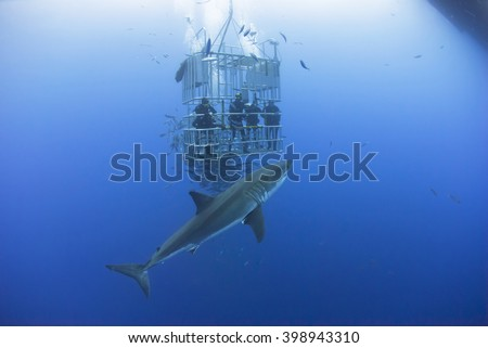 Great white shark in front of a diving cage with scuba divers. - stock photo