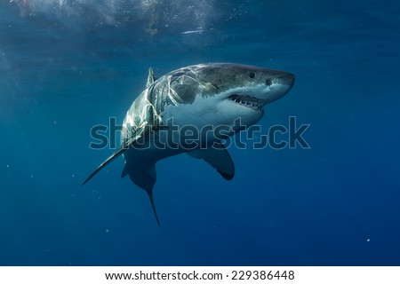 Great White Shark in Pacific ocean - stock photo