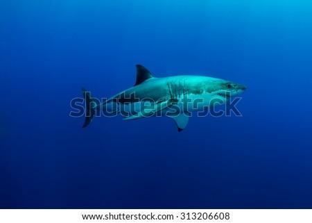 Great White Shark, motion - stock photo