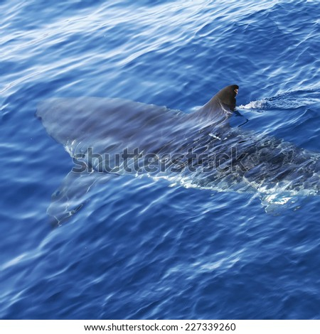 Great White Shark's fin over surface.Carcharodon carcharias  in ocean. - stock photo