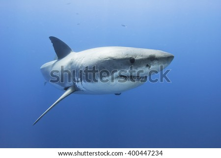 Great white shark showing its teeth in clear blue water. - stock photo