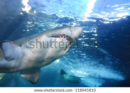 Great White Shark showing underside of the shark - stock photo