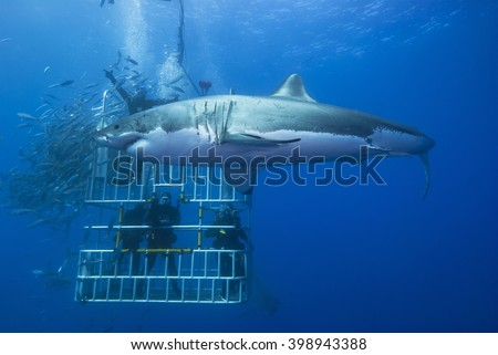 Great white shark sideways in front of a diving cage with scuba divers. - stock photo