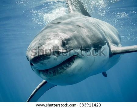Great white shark smiling - stock photo