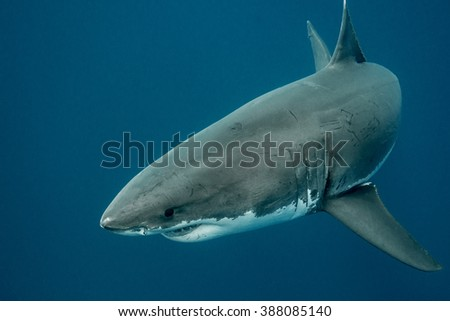 Great white shark swimming in the depths of the Pacific Ocean at Guadalupe Island in Mexico - stock photo