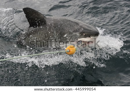 great white shark taking the bait, Carcharodon carcharias, False Bay, South Africa, Atlantic Ocean