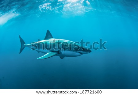 Great white shark underwater at Gansbaai. - stock photo