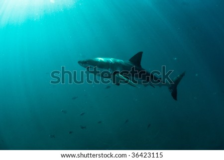 Great white shark underwater, Gansbaai, Western Cape, south Africa - stock photo