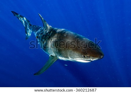 Great White shark while coming to you on deep blue ocean background