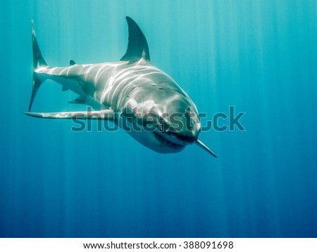 Great white shark who looks like Bruce from Finding Nemo movie in the blue Pacific Ocean  at Guadalupe Island in Mexico under sun rays - stock photo