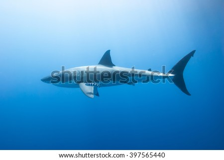 Great white shark with pilot fish from the side in clear blue water and the sun in the background. - stock photo