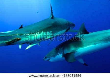 great white Sharks fighting - stock photo