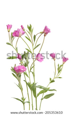 Great Willowherb wild flowers and foliage isolated against white - stock photo