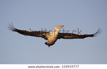 Great wings of a pelican in flight